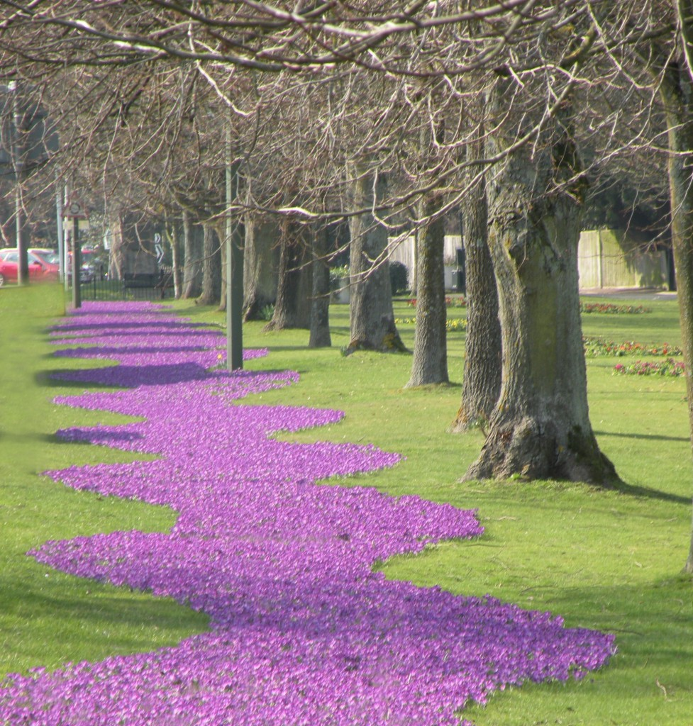 Purple Pinky Crocuses